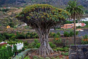 Drago millenario a Tenerife, Canarie